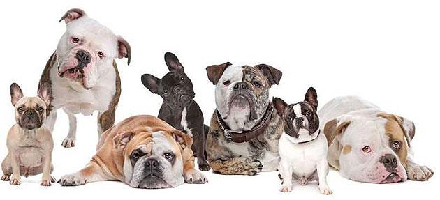 Image result for perros braquicéfalos