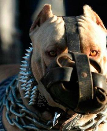 Perros Pitbull - American Pit Bull Terrier - una excelente mascota ...