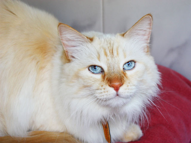 Razas de Gatos: Angora turco - Mascotas Foyel