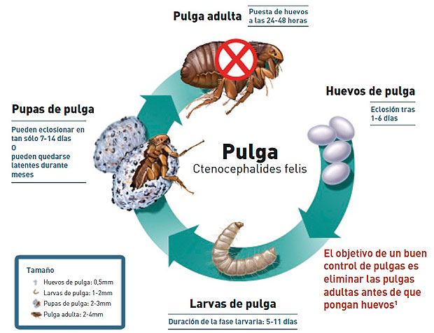 El ciclo de las pulgas en las mascotas mascotas foyel - Como eliminar las pulgas de casa remedio casero ...