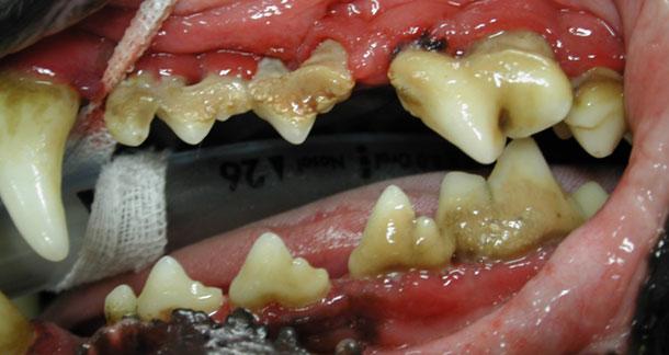 gingivitis canina