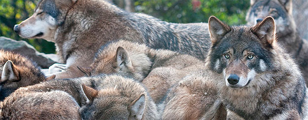 Conducta cazadora lobos