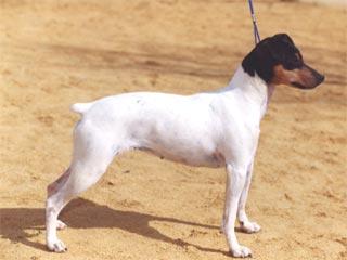 Razas de perros perro ratonero bodeguero andaluz - Cazar ratones en casa ...