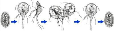 makmiror vélemények a giardiasisról