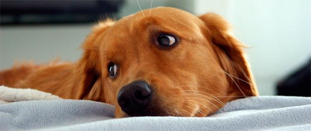 Puerperio canino