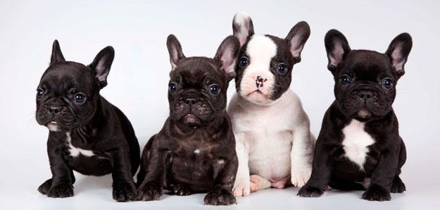 La Atopia Y La Alopecia Patron De Su Bulldog Frances Mascotas Foyel