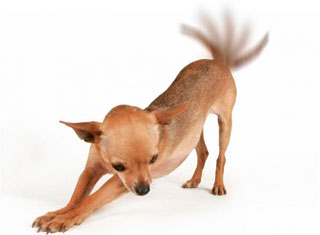 La cola del perro