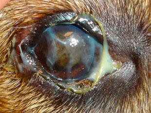Resultado de imagen para KCS: Síndrome del ojo seco en perros